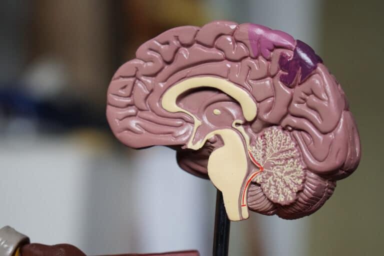 model of brain